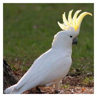 Cockatoo_B
